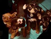 Pinscher Chihuahua Mix Welpen