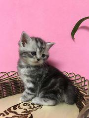 BKH Kitten Männlich