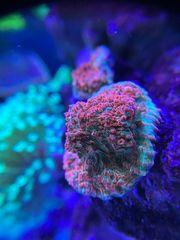 Meerwasser Koralle Chalice Ultra Red