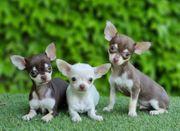 Chihuahua Rüde und Dame zum