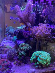 Korallen SPS LPS Zoas Meerwasser