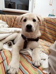 1 Labrador-Mischlings Welpe