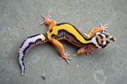 Leopardgeckos aus gesunder Hobbyzucht