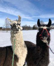 Lama Spaziergang Fotoshooting mit Lama