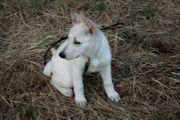 Weiße Schäferhund Welpen A-Wurf