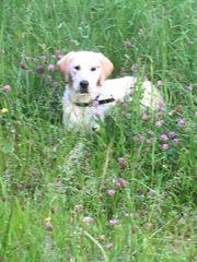 hübsche verspielte Golden Retriever Labrador