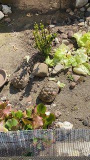 Landschildkröten Griechische Landschildkröten