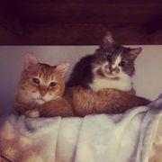 Yuma Makaio ein verschmustes Traumkatzenteam