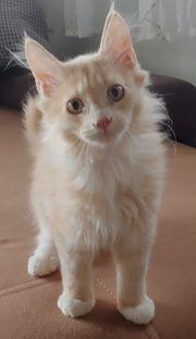 Reinrassige maine coon kater kitten