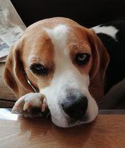 Deckrüde gesucht für Beagle-Dame