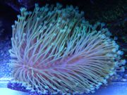 Korallenableger Zoas Euphyllia Enzmann Milka
