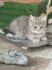 Süße BKH Kitten m w