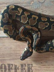 1 0 Python Regius Yellowbelly