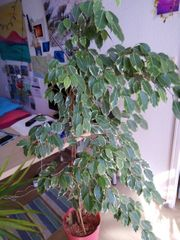 Grünpflanze Ficus 130 cm