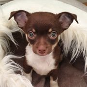 Reinrassiger Chihuahua Welpe KH