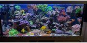 Korallenableger Meerwasser Korallen Koralle Sps