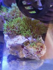 Meerwasser Affenhaar Weichkorallen SPS LPS