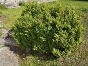 Buchsbaum zum ausgraben