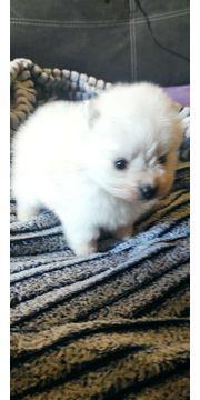 Ich verkaufe einen pommerschen Mini-Hund