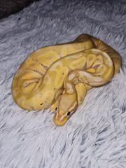 1 0 Banana Pastell Königspython