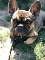 französische Bulldogge Rüde 8 Monate