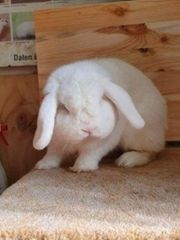 Zwergwidder Kastrat Kaninchen Rammler