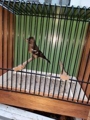 Buchfink Weibchen 2020
