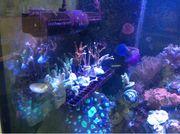 SPS Korallenableger Meerwasser