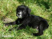 Wurfankündigung wunderschöne Edelmix-Welpen von Traumhund