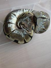 Python Regius Königspython weiblich Spider