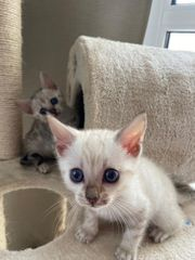 Goldige Kätzchen