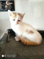 verkaufe 1 Maincoonmix kitten