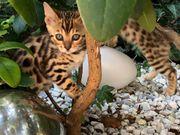 Bengal Kitten suchen liebevolles Zuhause