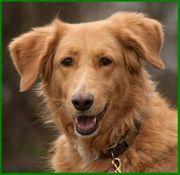 Simona 6 Jahre - Goldie-Setter-Mix - Tierhilfe
