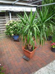 Yucca Palme Zimmerpflanze 180 cm