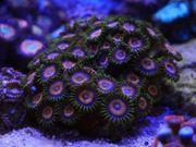 Korallen Meerwasser Weichkorallen Zoanthus LPS