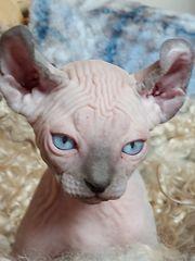 Canadian Sphynx Kitten zu verkaufen