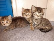 Scottish Straight Kitten