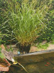 Wasserpflanze winterhart ca 1 20