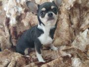 Wunderschöner Chihuahua Rüde blue tricolor