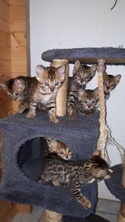 Reinrassige Bengal Kätzchen