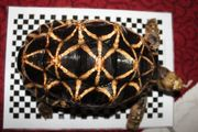 Geochelone platynota Burma Riesen Sternschildkröten