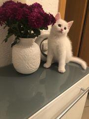 Russische weiße Babykatzen