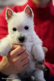 WEST Highland White Terrier mit