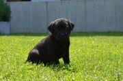 Reinrassige Labrador Welpen Abzugeben ab