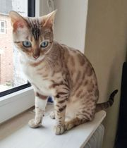 BENGAL SNOW LYNX ROSETTED