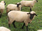 Schwarzkopf-Schafe