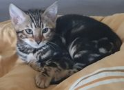 1 tolles Bengal Kitten sucht