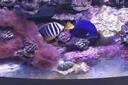 Rotmeerdoktorfisch Meerwasser