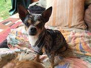 Tierschutz-Chihuahua Henry ca 8 Jahre